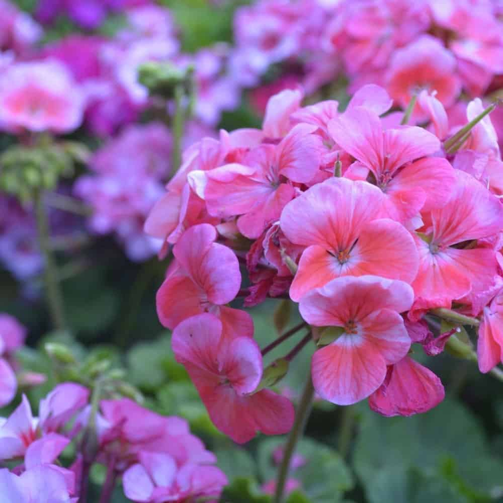 Geraniums on sale for the Women's Society Flower Sale 2021